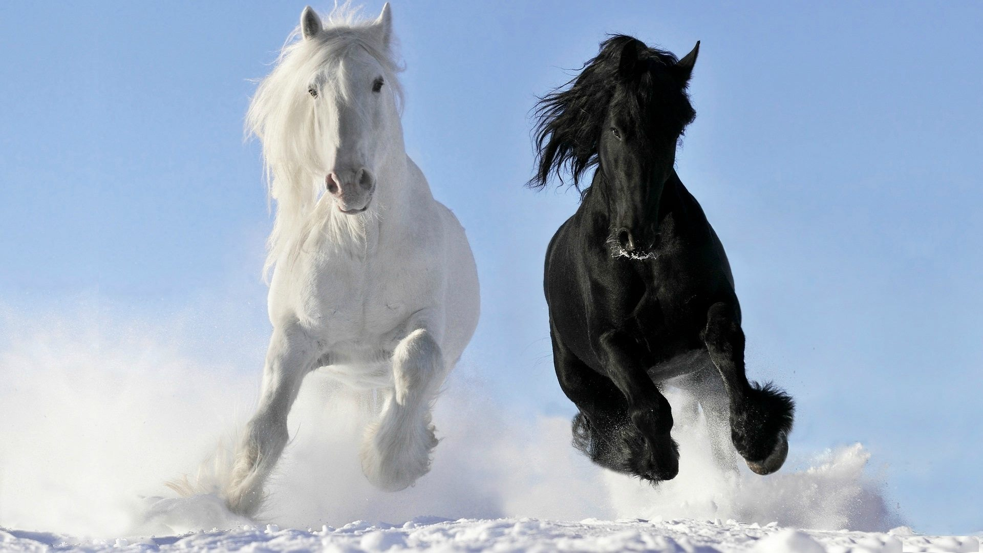 white and black friesians